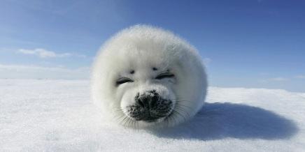Snow-Seals-l